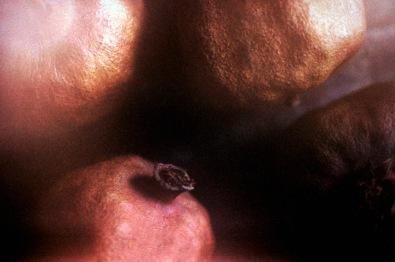 1995_granatapfel