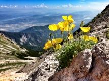 Gelber Alpen Mohn