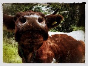 Muh macht die Kuh