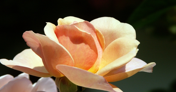 der duft der rose